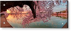 Pink Cherry Blossom Sunrise Acrylic Print by Metro DC Photography
