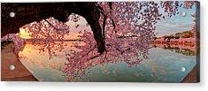 Pink Cherry Blossom Sunrise Acrylic Print