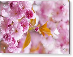 Pink Cherry Blossoms In Spring Orchard Acrylic Print