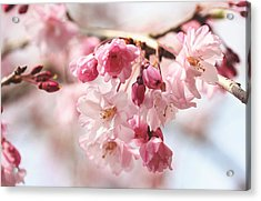 Pink Cherry Blossoms Acrylic Print by Trina  Ansel