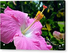 Acrylic Print featuring the photograph Pink Chinese Hibiscus Flower by Aloha Art