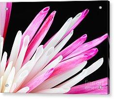 Pink Chrysanthemum Flower Isolated On Black Background. Macro  Acrylic Print