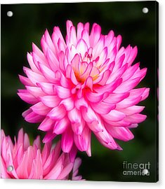 Pink Chrysanths Acrylic Print