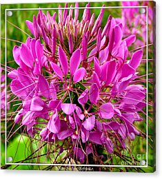 Pink Cleome Flower Acrylic Print by Rose Santuci-Sofranko