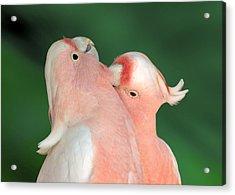 Pink Cockatoo Couple Acrylic Print