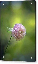 Pink Columbine Acrylic Print by  Andrea Lazar