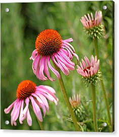 Pink Cone Flower Acrylic Print by Art Block Collections