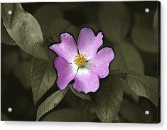 Prairie Rose Acrylic Print