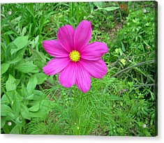 Pink Cosmos Acrylic Print by Aimee L Maher Photography and Art Visit ALMGallerydotcom
