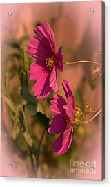Acrylic Print featuring the photograph Pink Cosmos  by Marjorie Imbeau