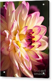 Acrylic Print featuring the photograph Pink Cream And Yellow Dahlia by Olivia Hardwicke