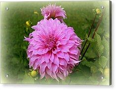 Pink Dahlia Acrylic Print by Donna Walsh
