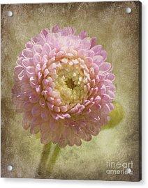 Pink Dahlia  Acrylic Print by Irina Hays