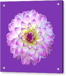 Pink Dahlia Posterized On Purple. Acrylic Print by Rosemary Calvert
