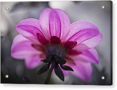 Acrylic Print featuring the photograph Pink Dahlia by Priya Ghose