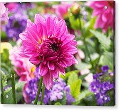 Pink Dahlia Acrylic Print