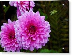 Pink Dahlias Acrylic Print