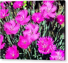 Acrylic Print featuring the photograph Pink Daisies by Gena Weiser