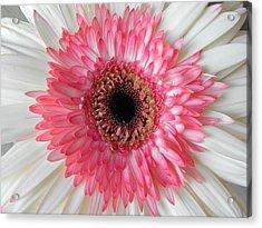 Pink Daisy Flower Acrylic Print