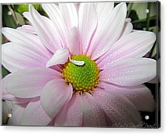Pink Daisy Freshness With Water Droplets Acrylic Print by Danielle  Parent