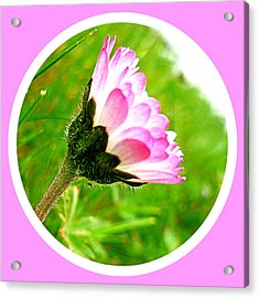 Pink Daisy  Acrylic Print by The Creative Minds Art and Photography