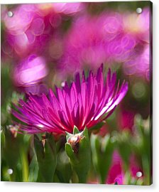 Pink Dance Acrylic Print by Haleh Mahbod
