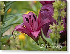 Pink Day Lily 20120618_42a Acrylic Print