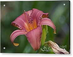 Pink Day Lily 20120624_33a Acrylic Print