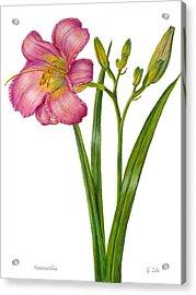 Pink Daylily - Hemerocallis Acrylic Print