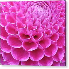 Pink Delight Acrylic Print