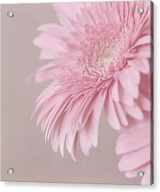Pink Delight Acrylic Print by Kim Hojnacki