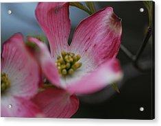 Pink Dogwood Bloom Acrylic Print