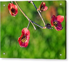 Pink Dogwood Blossoms Acrylic Print by Chris Flees