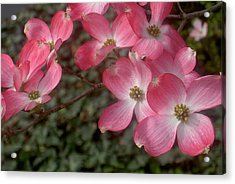 Pink Dogwood Delight Acrylic Print