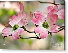 Pink Dogwood Splendor Acrylic Print by Eve Spring