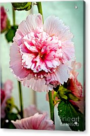Pink Double Hollyhock Acrylic Print by Robert Bales
