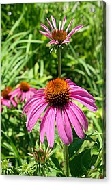 Acrylic Print featuring the photograph Pink Echinacea by Ellen Tully