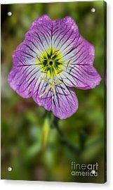 Pink Evening Primrose Acrylic Print