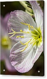 Pink Evening Primrose Flower Acrylic Print