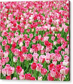 Acrylic Print featuring the photograph Pink Field by Kjirsten Collier