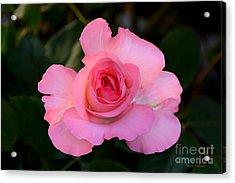 Pink Floribunda Rose Acrylic Print