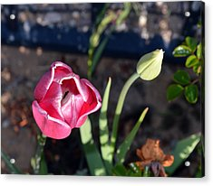 Pink Flower And Bud Acrylic Print by Brent Dolliver