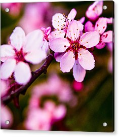 Pink Flower Acrylic Print by Chris McKenna
