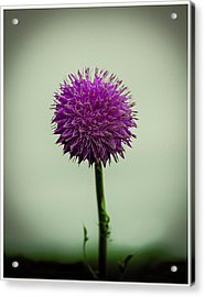 Pink Flower Acrylic Print by CSH Photography