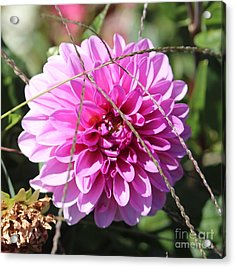 Acrylic Print featuring the photograph Pink Flower by Cynthia Snyder