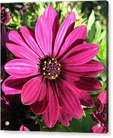 Pink Flower Acrylic Print by Eva Csilla Horvath
