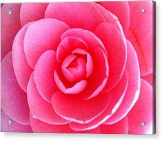 Pink Flower From Garden Acrylic Print by Beril Sirmacek