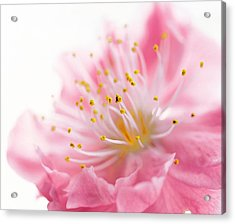 Pink Flower Acrylic Print by Panoramic Images