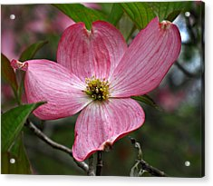Pink Flowering Dogwood Acrylic Print