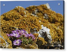 Pink Flowers On Mossy Rock Acrylic Print by Sami Sarkis